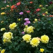 Location: In my front yard. Many roses in bloom.