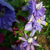 Location: In my garden. clematis but which one?