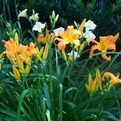 Location: Local Long Island Garden Orange daylily clump.