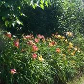 Location: In my garden Daylilies along driveway slope.