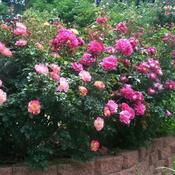 Location: In my front garden. A  jumble of rose blooms.