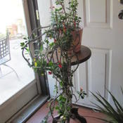 Location: in my living room, I will put it into a western  facing window.  Date: 2011-10-20This plant is about 6-7 years old