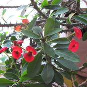 Date: 2011-10-20Crown of Thorns Blooms