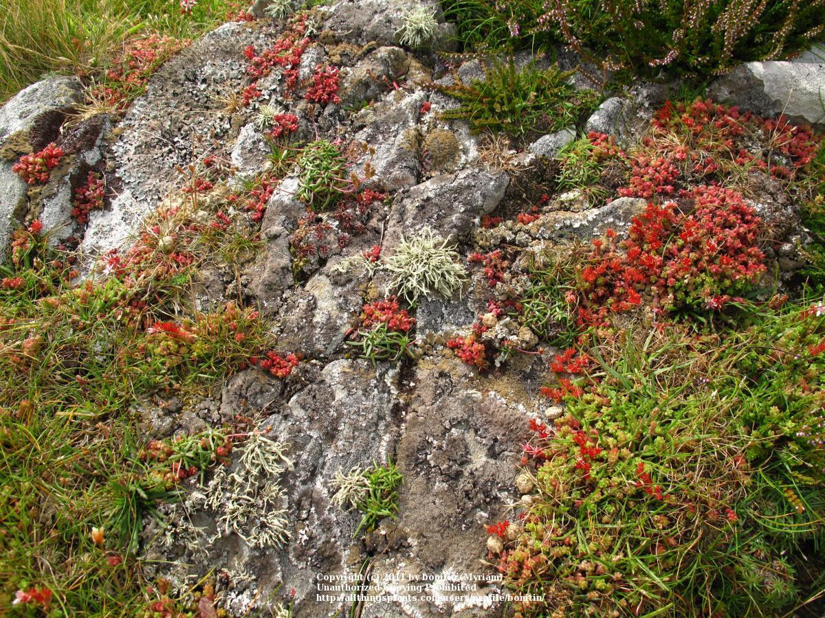 Photo of the entire plant of English Stonecrop (Sedum anglicum ...