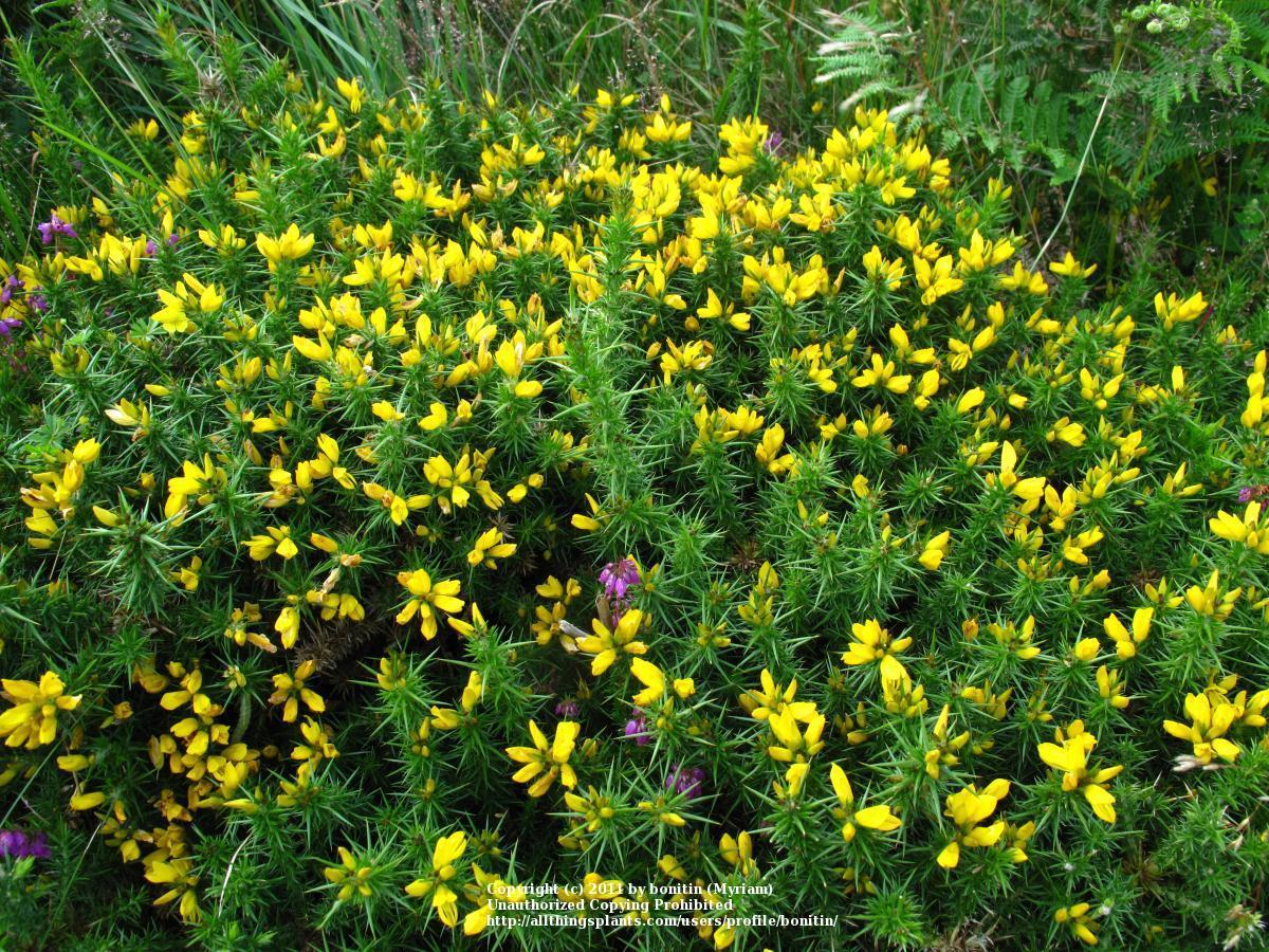 Photo of Dwarf Gorse (Ulex gallii) uploaded by bonitin