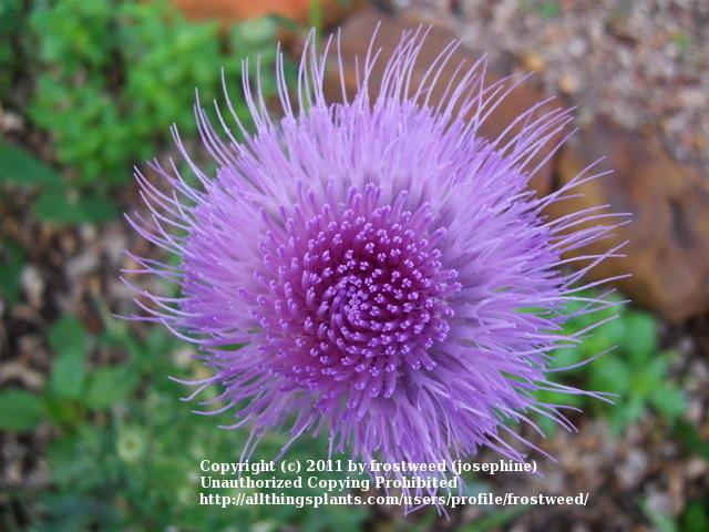 Photo of Texas Thistle (Cirsium texanum) uploaded by frostweed