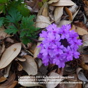 Location: My yard in Arlington, Texas.Date: Summer 2011This verbena grows wild in the woods.