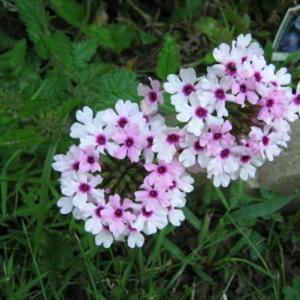 Marvelous This Trailing Verbena Came Back From Seed