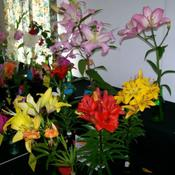 Location: Claremont Lilium Show- TasmaniaDate: jan 2011Lenah Valley Club entries