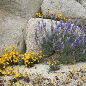 Photographed in the So. Calif. desert in March 2009, growing with