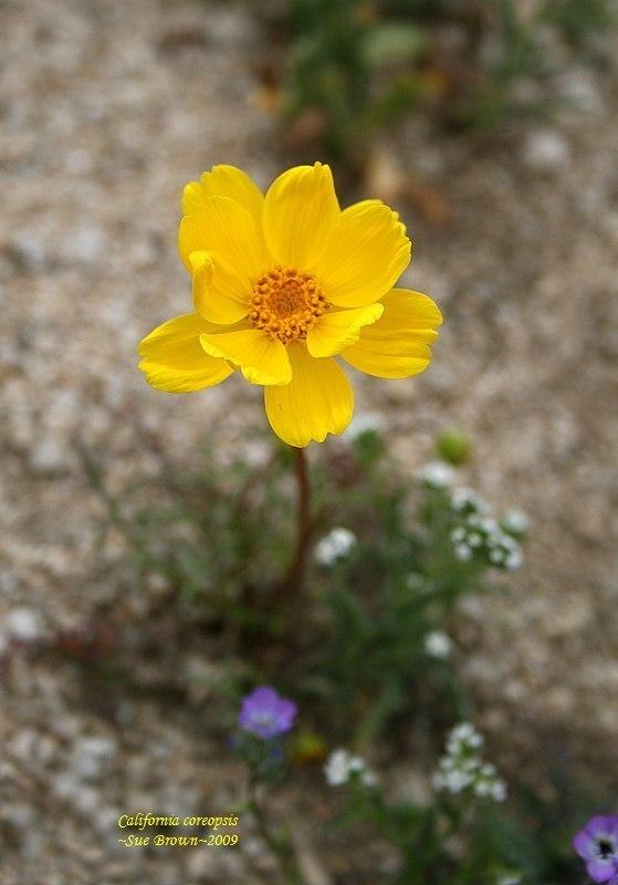 Photo of Coreopsis californica uploaded by Calif_Sue
