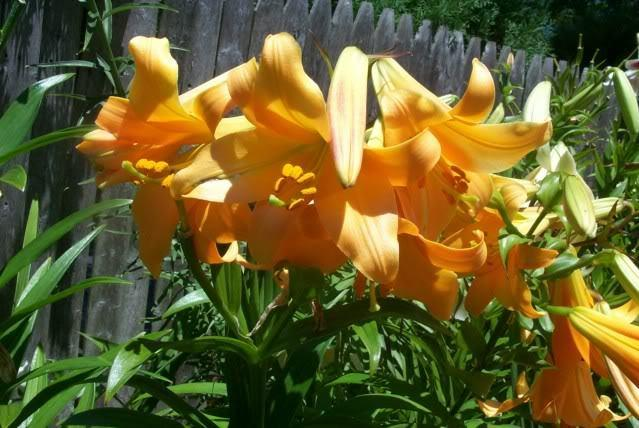 Photo of Lily (Lilium 'African Queen') uploaded by Newyorkrita