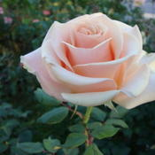 Date: 2011-10-22The real MM was much photographed.  The rose MM is came