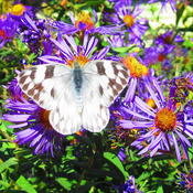 Location: central IllinoisDate: 2011-09-30Checkered White on N E Aster