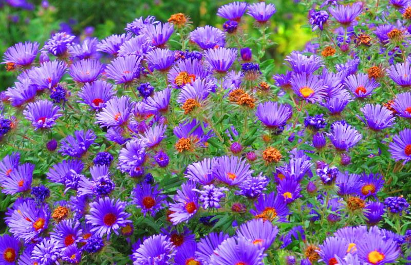 asters plant care and collection of varieties  garden, Beautiful flower