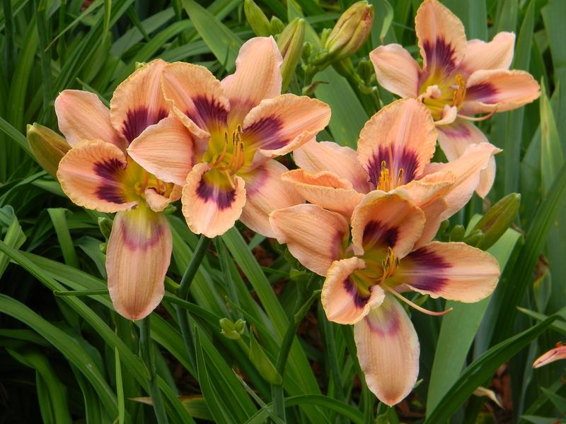 Photo of Daylily (Hemerocallis 'Paper Butterfly') uploaded by mattsmom