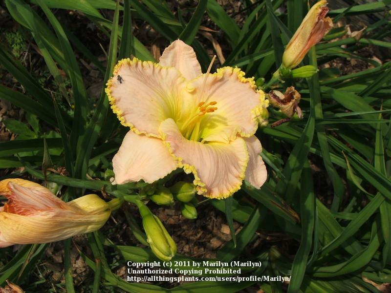 Photo of Daylily (Hemerocallis 'Ed Brown') uploaded by Marilyn