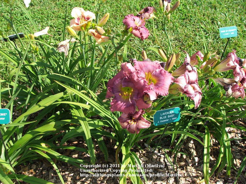 Photo of Daylily (Hemerocallis 'Lavender Blue Baby') uploaded by Marilyn