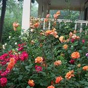 Location: In my garden. Roses around the front porch.