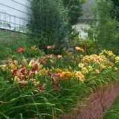 Location: In my garden. Raised backyard daylily bed.