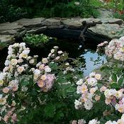 Location: In my garden. Abigail Adams rose in bloming in front of my pond.
