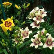 Location: In my garden. No Id Asiatic lilies to the right of daylily Tic Tac Toe.