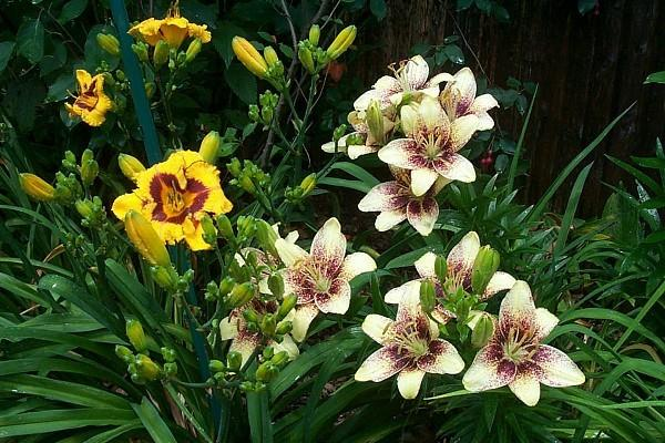 Photo of Lilies (Lilium) uploaded by Newyorkrita