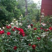 Location: In my garden. Roses along the house.