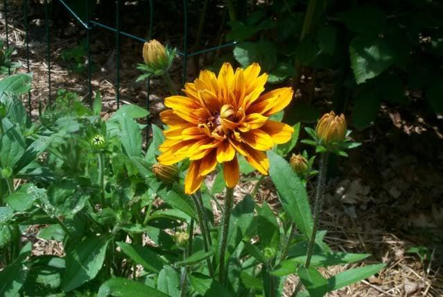 Photo of Black-eyed Susan (Rudbeckia hirta 'Cherokee Sunset') uploaded by Newyorkrita
