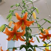 Location: Claremont Lilium Show- TasmaniaDate: jan 20102010 Champion- Orange Cameron