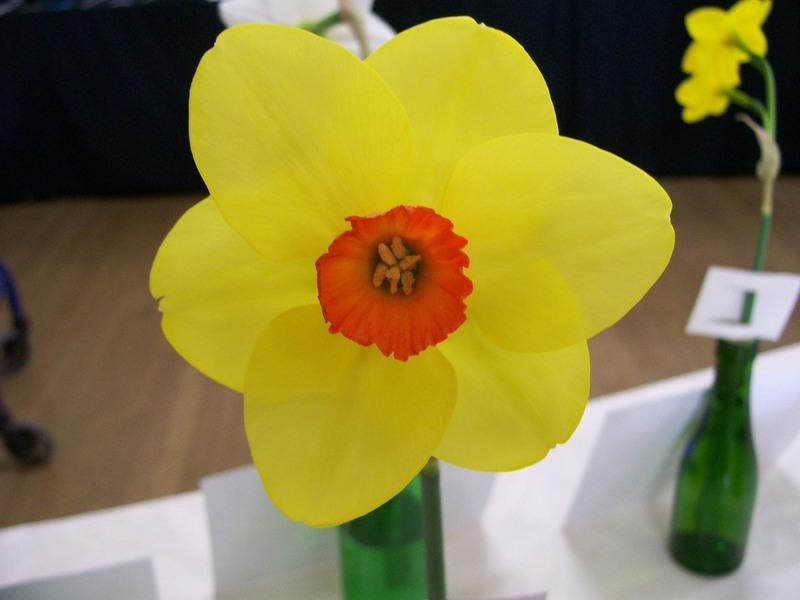 Photo of Daffodils (Narcissus) uploaded by gwhizz