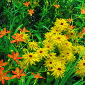 Location: central IllinoisDate: 2011-07-14with Rudbeckia (makes a complementry color scheme)