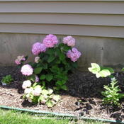 Location: Cincinnati, OhioDate: June 2008This Hydrangea Endless Summer was easily propagated by layering o
