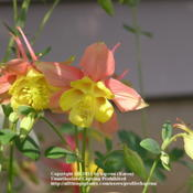 Location: Cincinnati, OhioDate: Spring 2007Unknown columbine