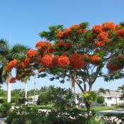 Location: Southwest FloridaDate: May 2010This tree in full bloom is a traffic stopper!