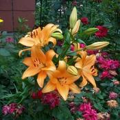 Location: In my garden. Common Orange Asiatic Lily.