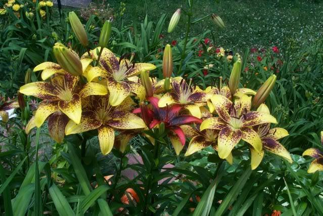 Photo of Lily (Lilium 'Honey Bee') uploaded by Newyorkrita