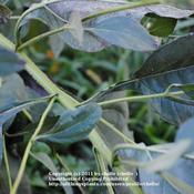 Location: Natural Area in Northeastern IndianaDate: 2011-10-02Mid-section of plant has alternate leaves.