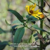 Location: Natural Area in Northeastern IndianaDate: 2011-10-02Inflorescence has both ray flowers and disc flowers.