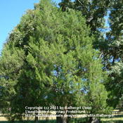 Location: zone 8/9 Lake City, FloridaDate: 2011-10-22Tree