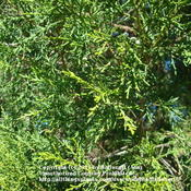 Location: zone 8/9 Lake City, FloridaDate: 2011-10-22Needles