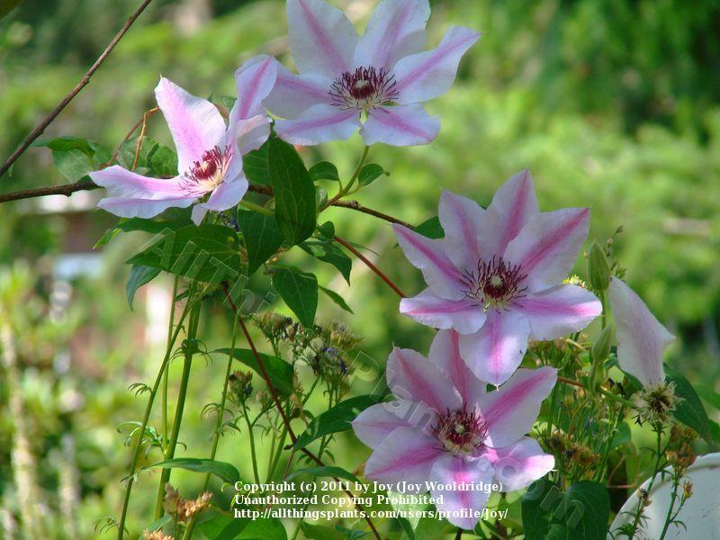 Photo of Clematis 'Nelly Moser' uploaded by Joy