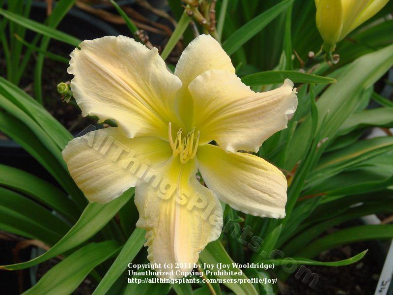 Photo of Daylily (Hemerocallis 'Golliwog') uploaded by Joy