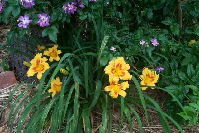 Photo of Daylily (Hemerocallis 'Black Eyed Stella') uploaded by Newyorkrita