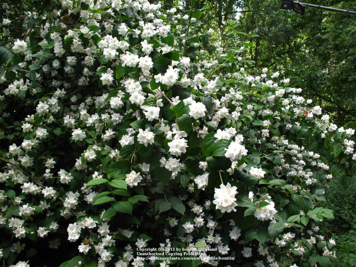 mock orange Mock orange (murraya paniculata) is an invasive plant in queensland and is not a restricted or prohibited plant under queensland legislation.