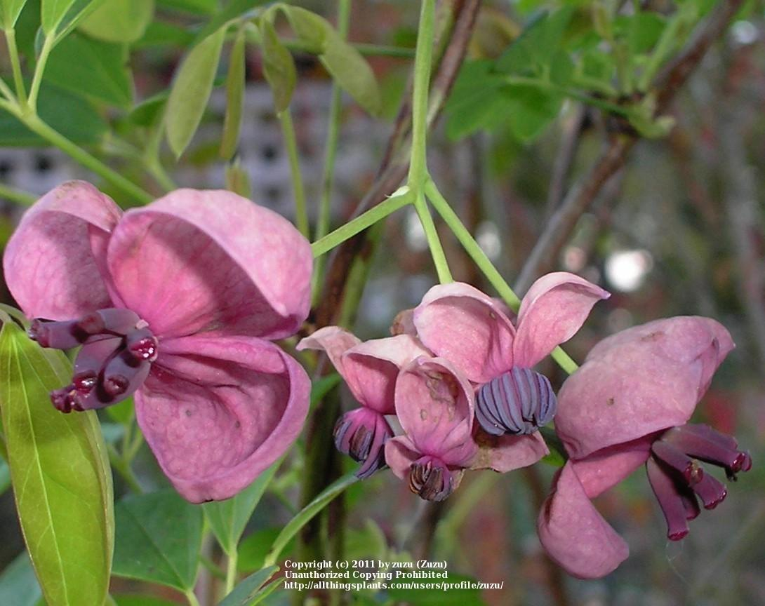 Photo of Five-Leaf Chocolate Vine (Akebia quinata) uploaded by zuzu