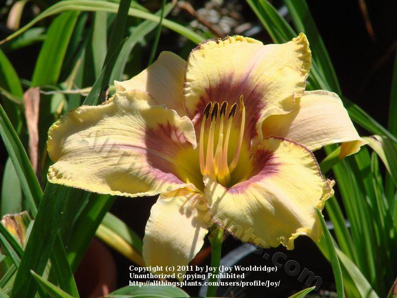 Photo of Daylily (Hemerocallis 'Gift from Heaven') uploaded by Joy