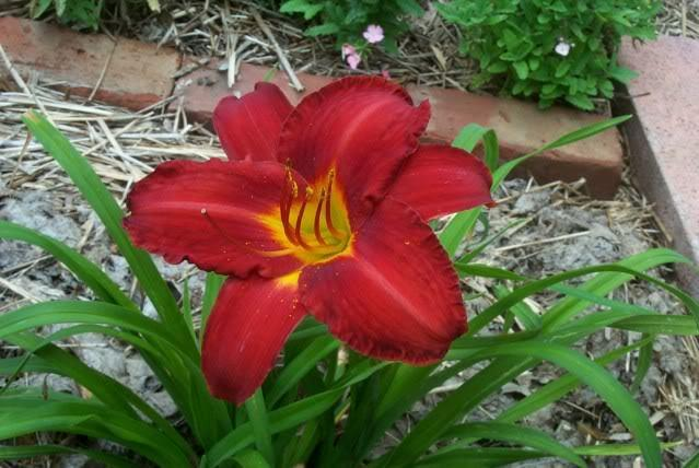 Photo of Daylily (Hemerocallis 'Chicago Apache') uploaded by Newyorkrita