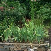 Location: In my garden. Iris plants in July long after bloom.