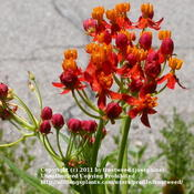 Location: My yard in Arlington, Texas.Date: Summer 2010This milkweed is easy to grow and a favorite of Monarch